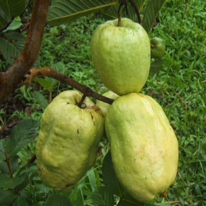 Bán cây giống ổi không hạt, ổi xá lị, giống cây ổi, cây giống chất lượng cao, giao hàng toàn quốc0