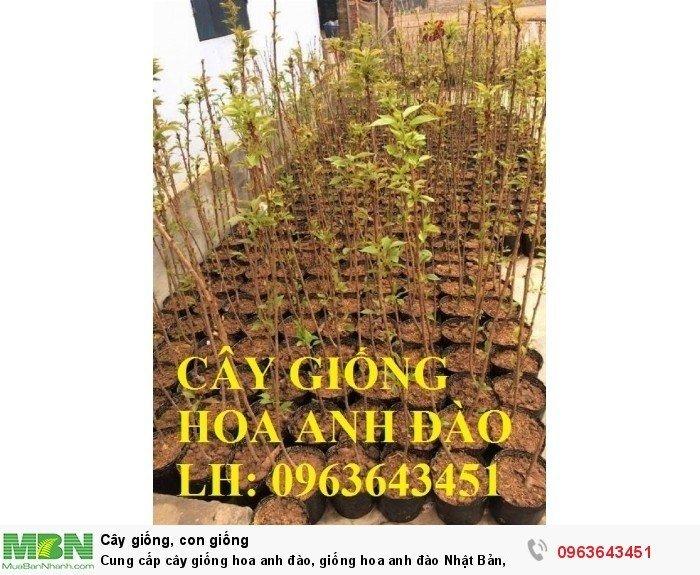Cung cấp cây giống hoa anh đào, giống hoa anh đào Nhật Bản, giống hoa đào Nhật, hoa đào Nhật Sakura, uy tín, chất lượng, giao hàng toàn quốc1