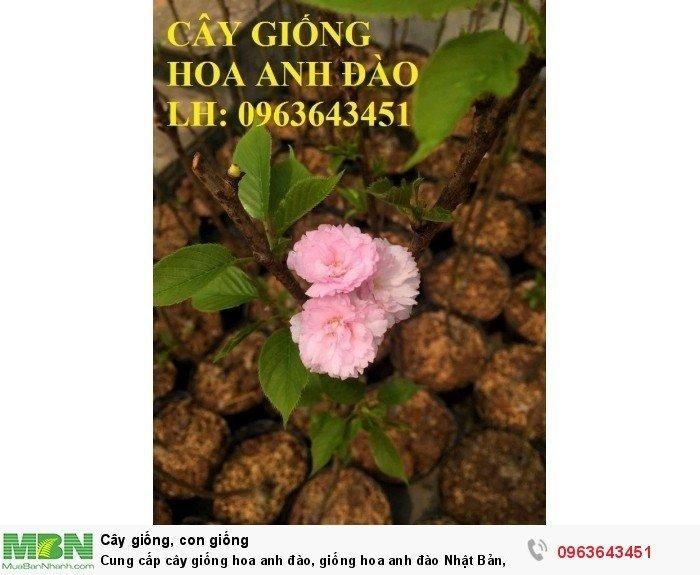 Cung cấp cây giống hoa anh đào, giống hoa anh đào Nhật Bản, giống hoa đào Nhật, hoa đào Nhật Sakura, uy tín, chất lượng, giao hàng toàn quốc3