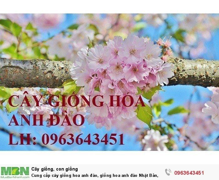 Cung cấp cây giống hoa anh đào, giống hoa anh đào Nhật Bản, giống hoa đào Nhật, hoa đào Nhật Sakura, uy tín, chất lượng, giao hàng toàn quốc2