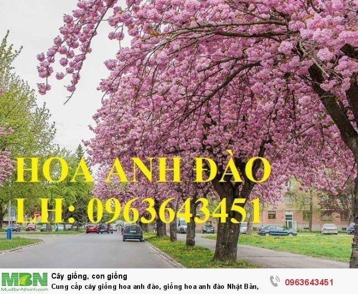 Cung cấp cây giống hoa anh đào, giống hoa anh đào Nhật Bản, giống hoa đào Nhật, hoa đào Nhật Sakura, uy tín, chất lượng, giao hàng toàn quốc4