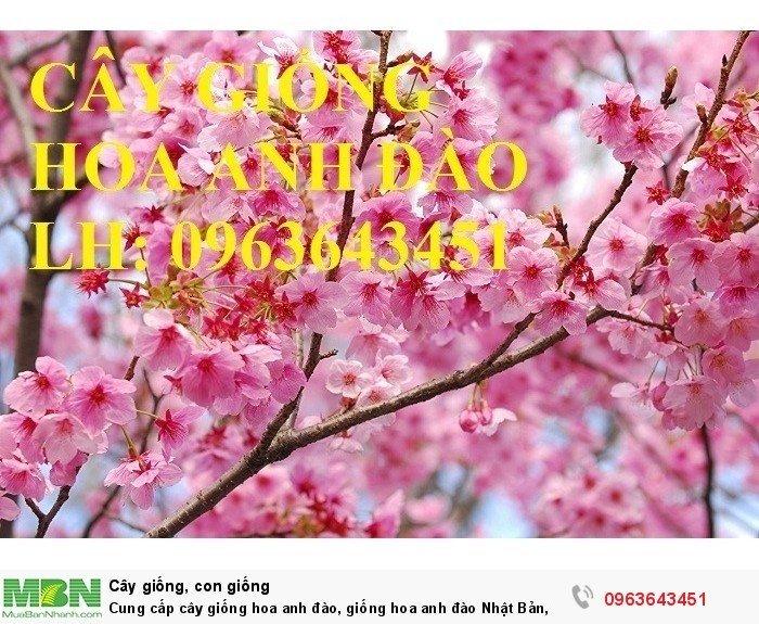 Cung cấp cây giống hoa anh đào, giống hoa anh đào Nhật Bản, giống hoa đào Nhật, hoa đào Nhật Sakura, uy tín, chất lượng, giao hàng toàn quốc6