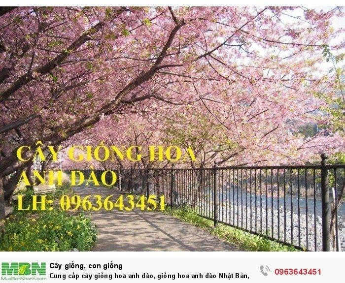 Cung cấp cây giống hoa anh đào, giống hoa anh đào Nhật Bản, giống hoa đào Nhật, hoa đào Nhật Sakura, uy tín, chất lượng, giao hàng toàn quốc7
