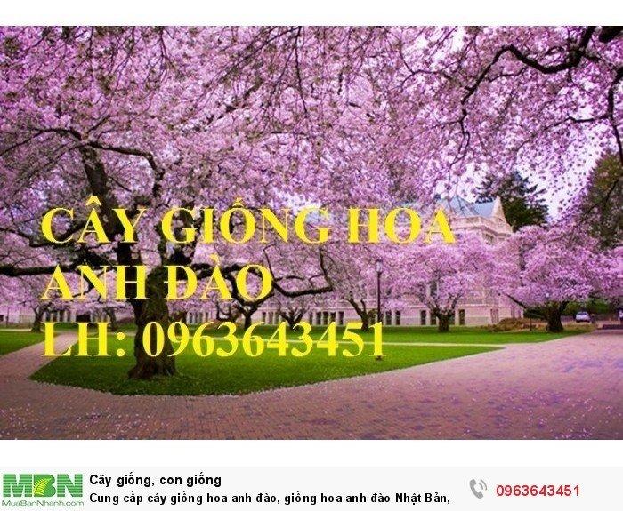 Cung cấp cây giống hoa anh đào, giống hoa anh đào Nhật Bản, giống hoa đào Nhật, hoa đào Nhật Sakura, uy tín, chất lượng, giao hàng toàn quốc8