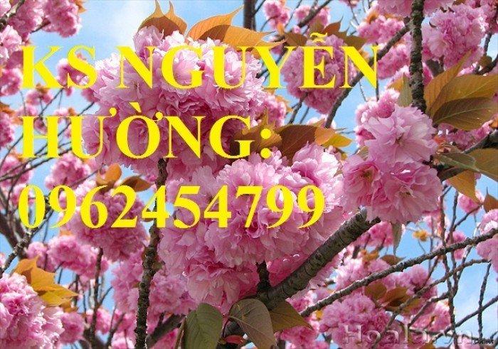 Địa chỉ chuyên cung cấp cây giống hoa anh đào, cây hoa anh đào Nhật Bản, giao cây toàn quốc5