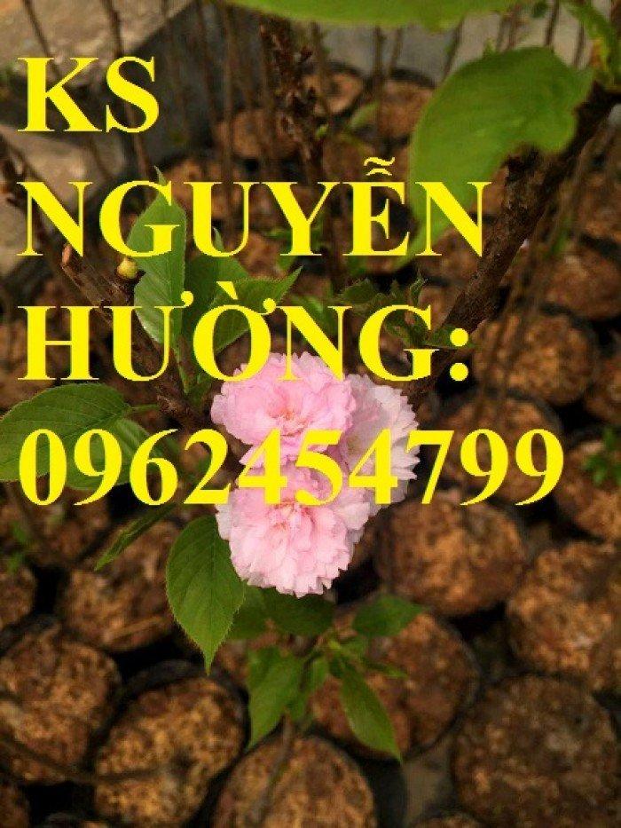 Địa chỉ chuyên cung cấp cây giống hoa anh đào, cây hoa anh đào Nhật Bản, giao cây toàn quốc0