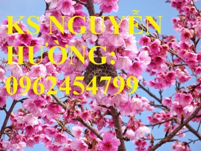Địa chỉ chuyên cung cấp cây giống hoa anh đào, cây hoa anh đào Nhật Bản, giao cây toàn quốc2