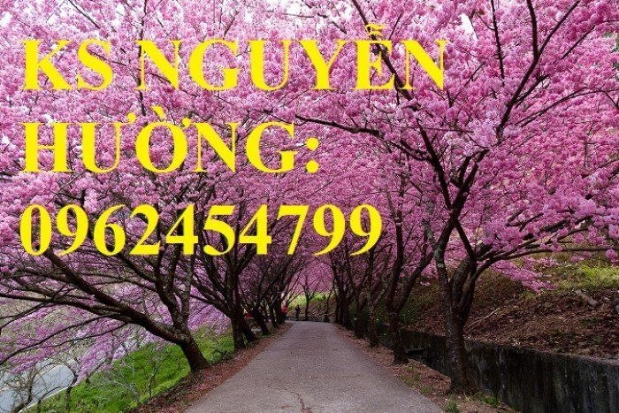 Địa chỉ chuyên cung cấp cây giống hoa anh đào, cây hoa anh đào Nhật Bản, giao cây toàn quốc3