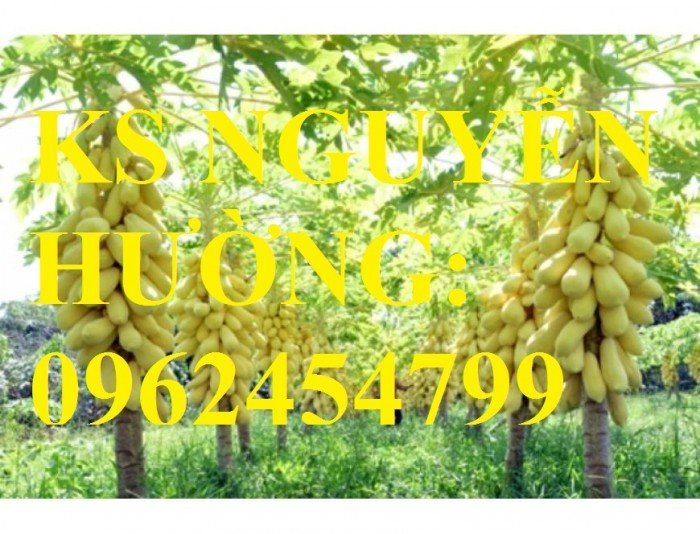 Cung cấp cây giống đu đủ vàng lùn, hướng dẫn kỹ thuật trồng cây đu đủ vàng, cung cấp cây toàn quốc1