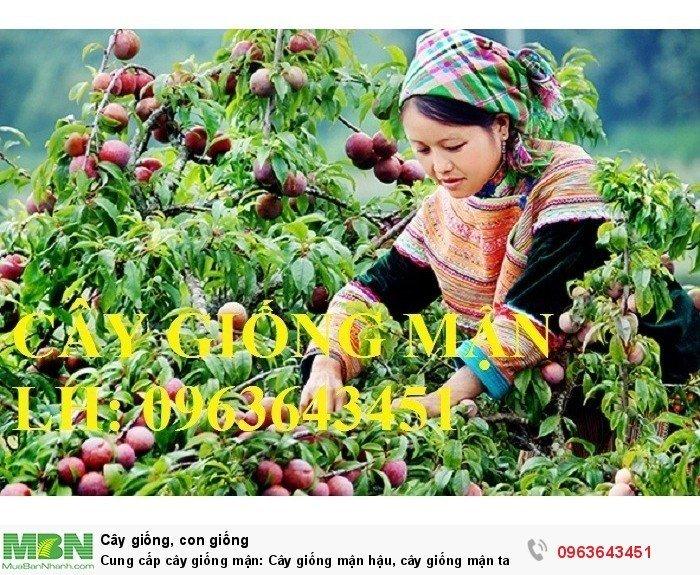 Cung cấp cây giống mận: Cây giống mận hậu, cây giống mận tam hoa, mận Bắc hà, mận Sơn La chuẩn giống1