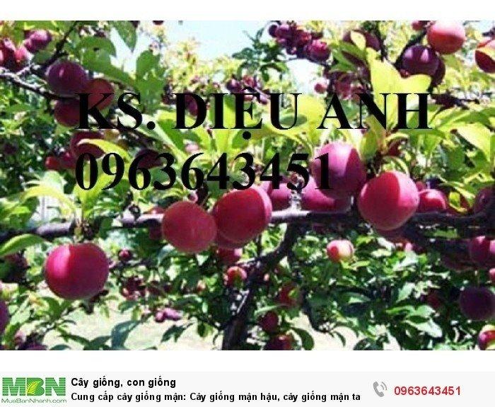 Cung cấp cây giống mận: Cây giống mận hậu, cây giống mận tam hoa, mận Bắc hà, mận Sơn La chuẩn giống2