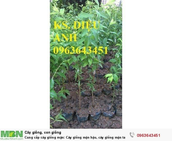 Cung cấp cây giống mận: Cây giống mận hậu, cây giống mận tam hoa, mận Bắc hà, mận Sơn La chuẩn giống7