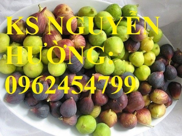 Cung cấp cây sung mỹ - cây ăn quả độc đáo cho nhiều dinh dưỡng, giao cây toàn quốc5