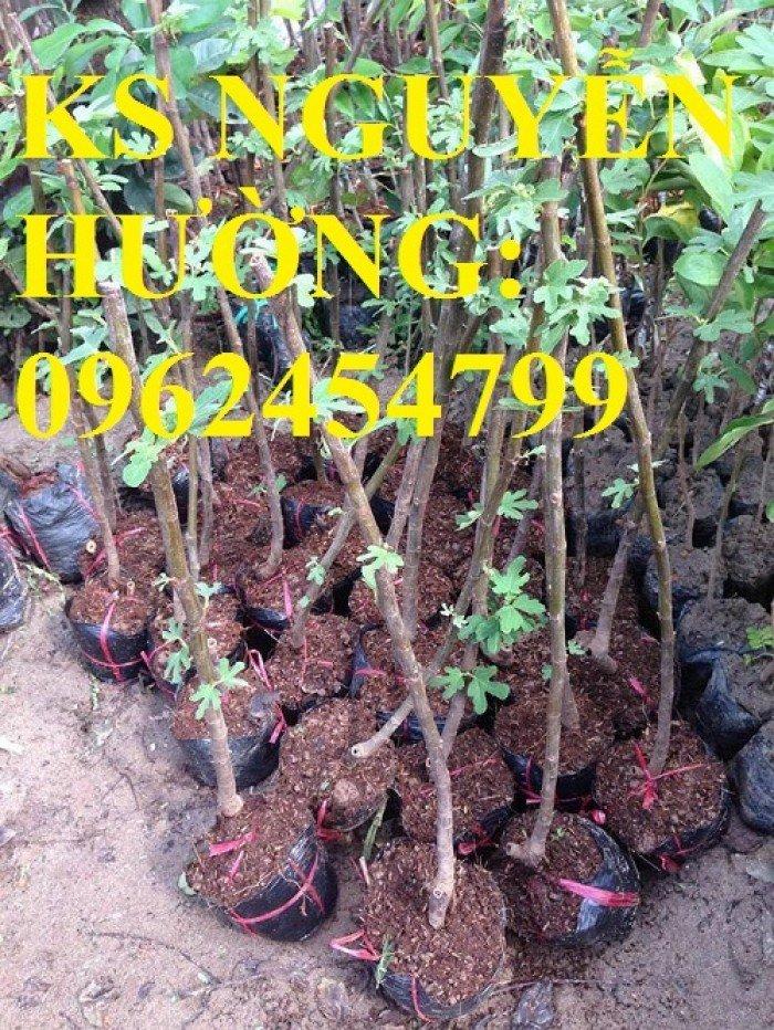 Cung cấp cây sung mỹ - cây ăn quả độc đáo cho nhiều dinh dưỡng, giao cây toàn quốc2