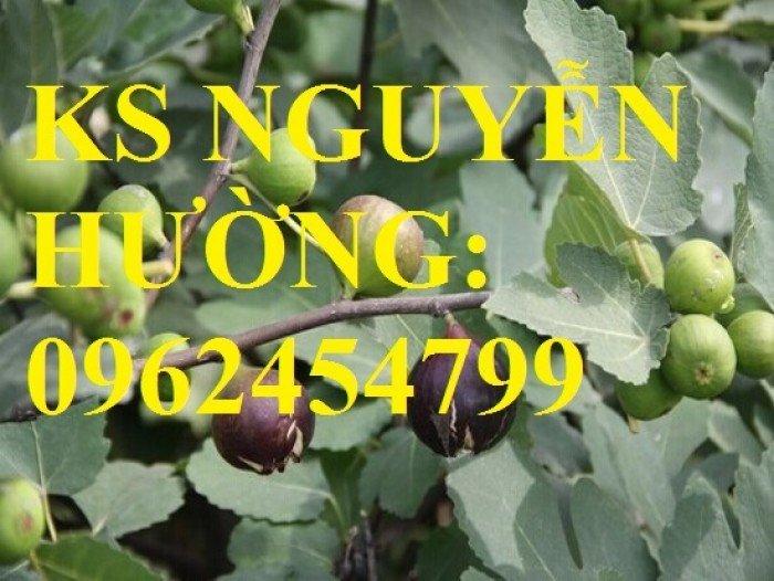 Cung cấp cây sung mỹ - cây ăn quả độc đáo cho nhiều dinh dưỡng, giao cây toàn quốc0