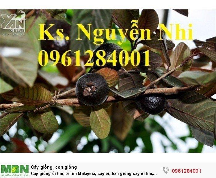 Cây giống ổi tím, ổi tím Malaysia, cây ổi, bán giống cây ổi tím, cây giống chất lượng cao1