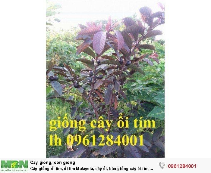 Cây giống ổi tím, ổi tím Malaysia, cây ổi, bán giống cây ổi tím, cây giống chất lượng cao2
