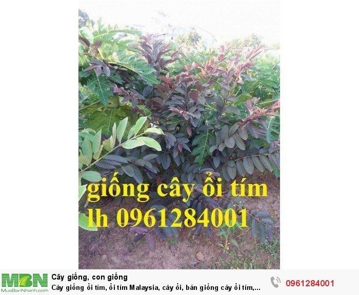 Cây giống ổi tím, ổi tím Malaysia, cây ổi, bán giống cây ổi tím, cây giống chất lượng cao3