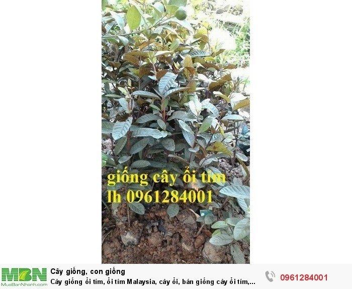 Cây giống ổi tím, ổi tím Malaysia, cây ổi, bán giống cây ổi tím, cây giống chất lượng cao4