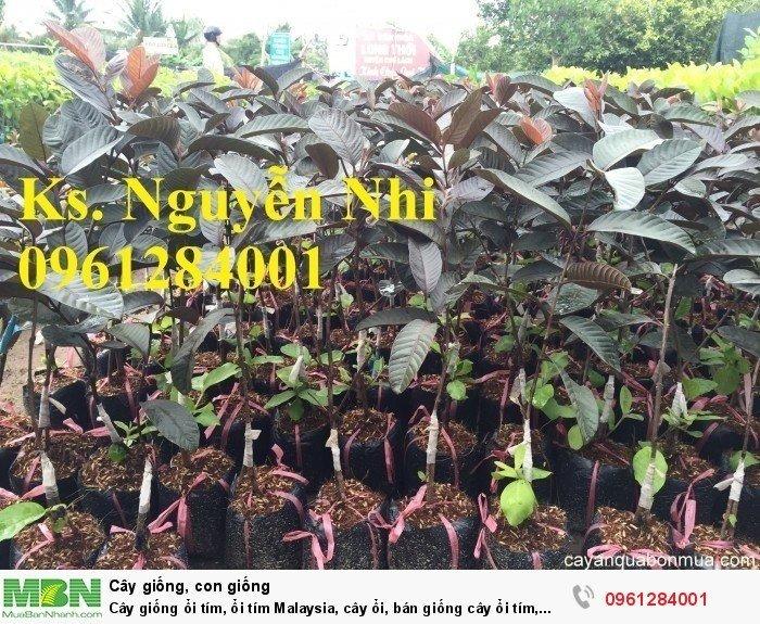 Cây giống ổi tím, ổi tím Malaysia, cây ổi, bán giống cây ổi tím, cây giống chất lượng cao5