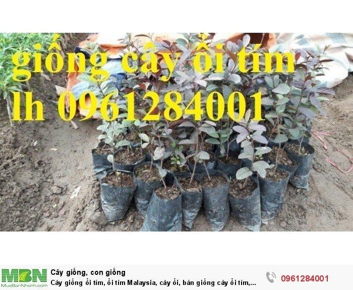 Cây giống ổi tím, ổi tím Malaysia, cây ổi, bán giống cây ổi tím, cây giống chất lượng cao6