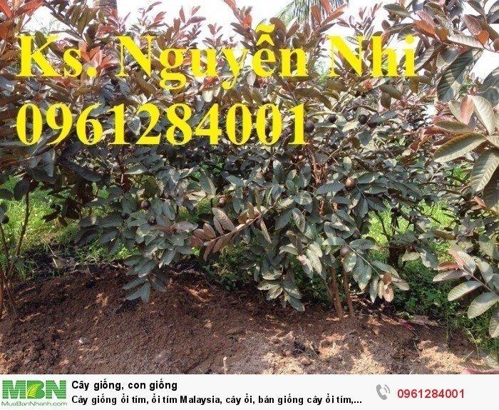 Cây giống ổi tím, ổi tím Malaysia, cây ổi, bán giống cây ổi tím, cây giống chất lượng cao9