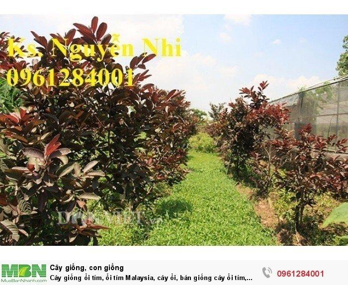Cây giống ổi tím, ổi tím Malaysia, cây ổi, bán giống cây ổi tím, cây giống chất lượng cao10