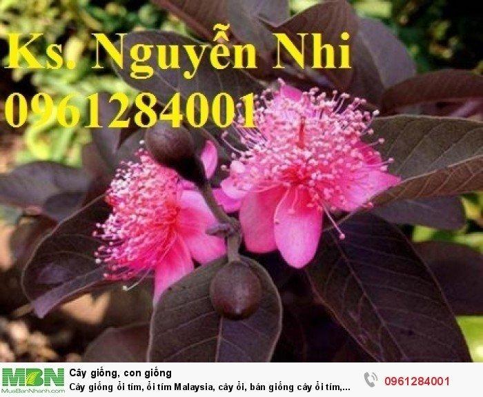Cây giống ổi tím, ổi tím Malaysia, cây ổi, bán giống cây ổi tím, cây giống chất lượng cao11