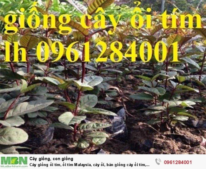 Cây giống ổi tím, ổi tím Malaysia, cây ổi, bán giống cây ổi tím, cây giống chất lượng cao12