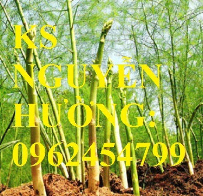 Địa chỉ cung cấp cây giống măng tây giá rẻ, cây giống sinh trưởng cho năng suất cao4