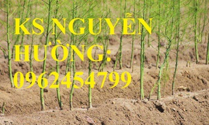 Địa chỉ cung cấp cây giống măng tây giá rẻ, cây giống sinh trưởng cho năng suất cao7