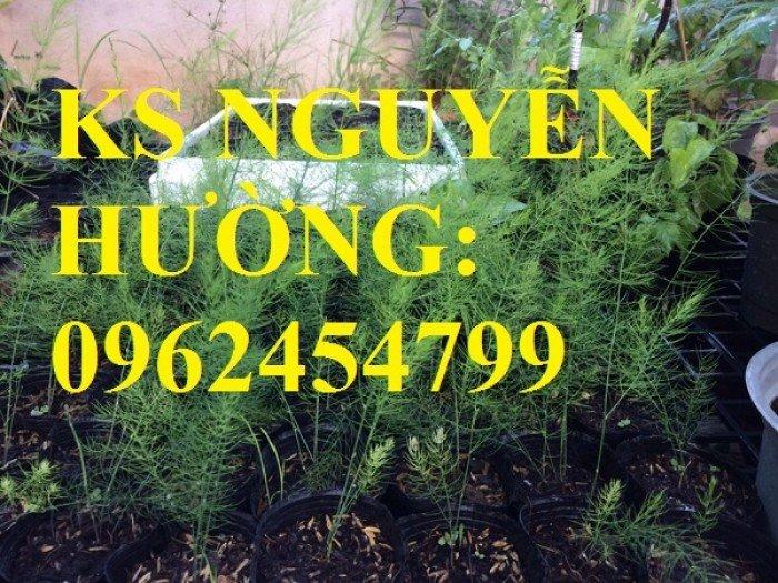 Địa chỉ cung cấp cây giống măng tây giá rẻ, cây giống sinh trưởng cho năng suất cao5