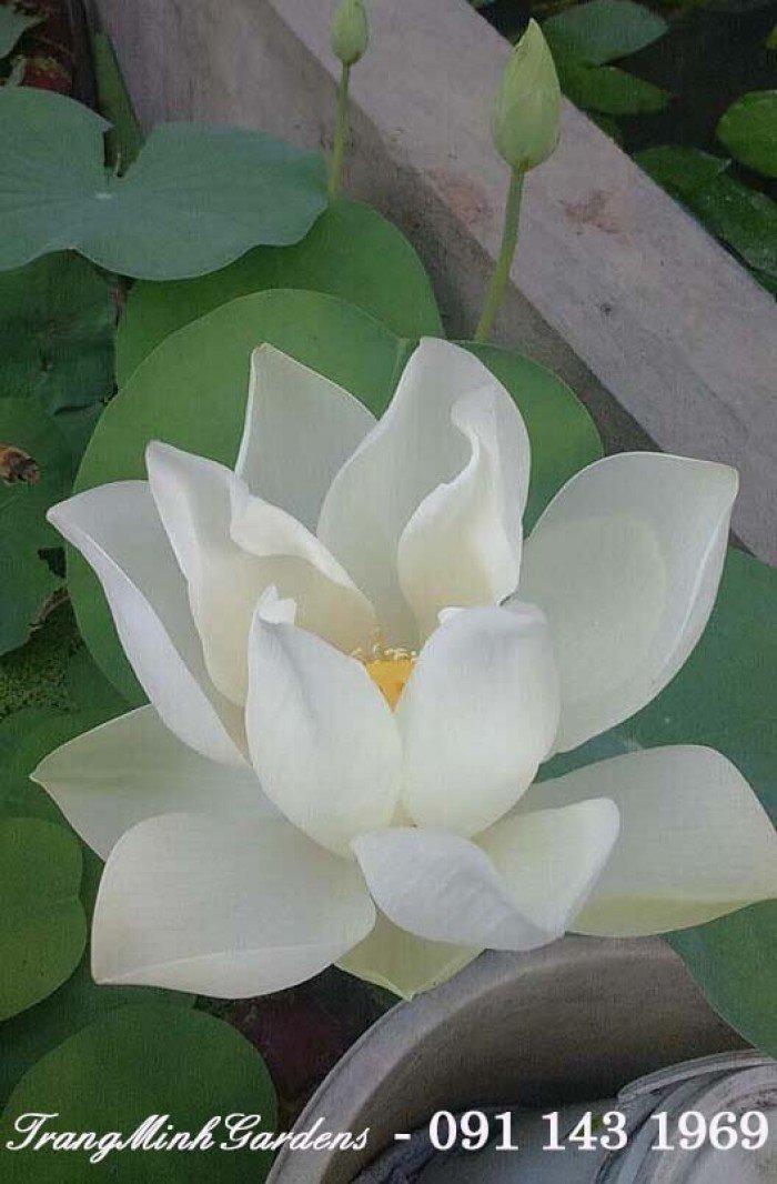 Hoa sen1