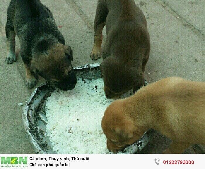 Chó con phú quốc lai2