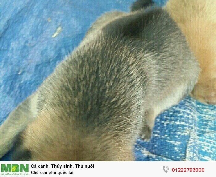 Chó con phú quốc lai3