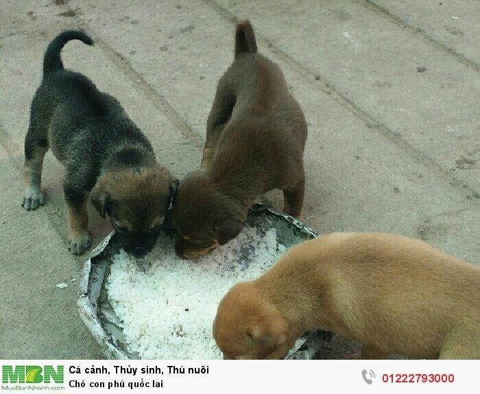 Chó con phú quốc lai4