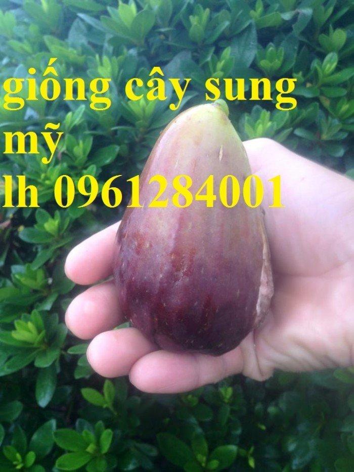 Cây giống sung mỹ, sung ngọt, sung đường, cây vả, cây nhập khẩu, chất lượng cao8