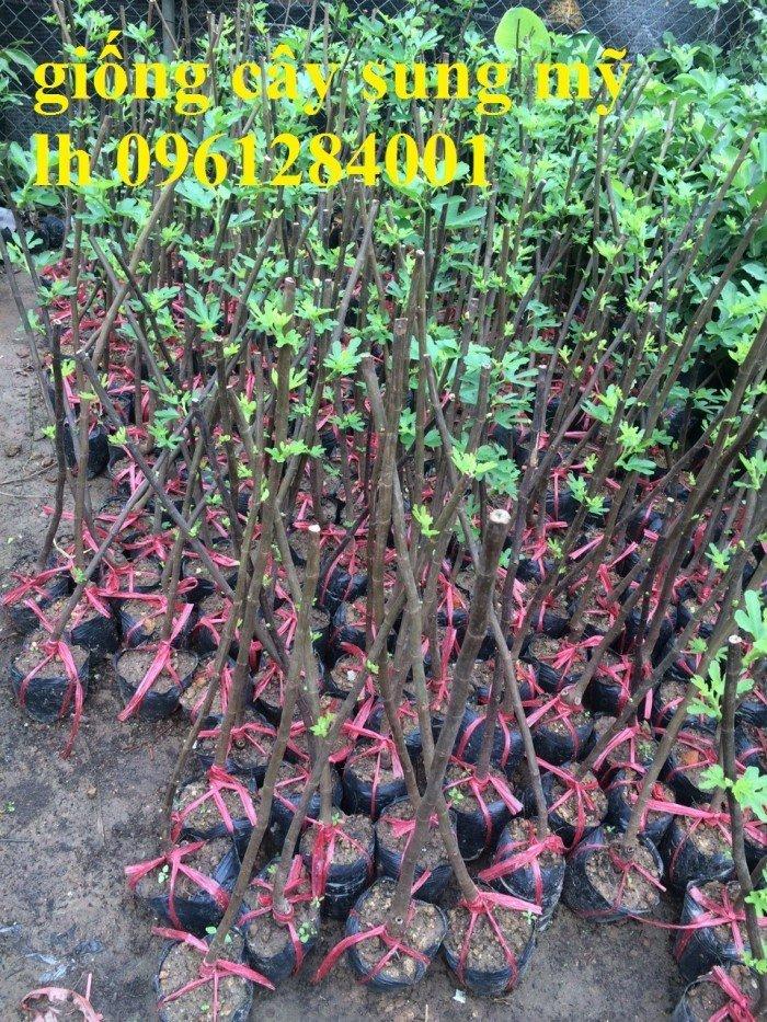cây giống sung mỹ6