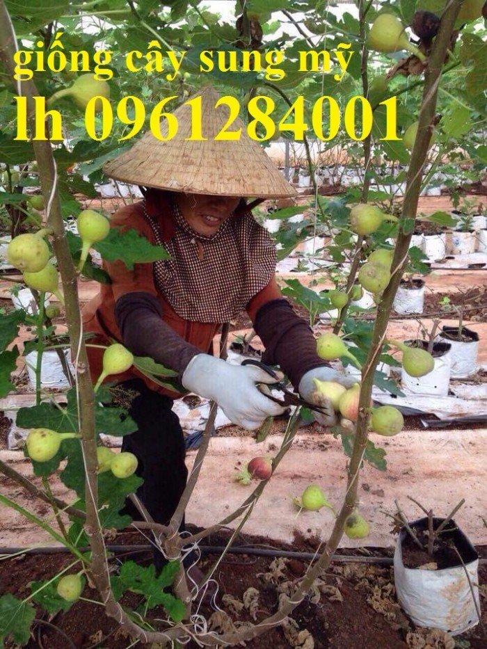 cây sung mỹ trưởng thành, thu hoạch sung mỹ2