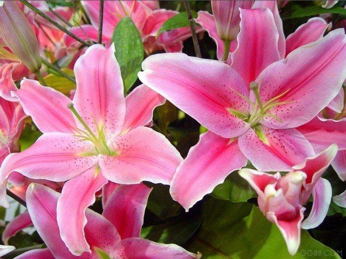 Củ hoa ly (củ giống hoa ly), kỹ thuật trồng và chăm sóc hoa ly1