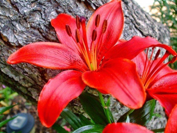 Củ hoa ly (củ giống hoa ly), kỹ thuật trồng và chăm sóc hoa ly0