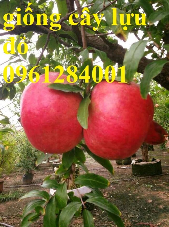 Cung cấp giống cây lựu lùn Ân Độ, lựu lùn đỏ F1, lựu lùn đỏ cao sảnh, cây giống nhập khẩu chất lượng cao14