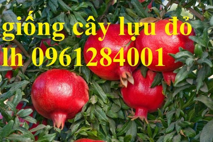 Cung cấp giống cây lựu lùn Ân Độ, lựu lùn đỏ F1, lựu lùn đỏ cao sảnh, cây giống nhập khẩu chất lượng cao16