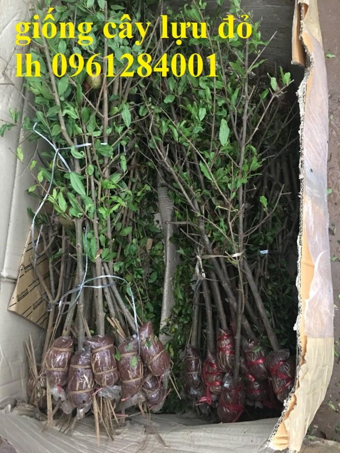 Cung cấp giống cây lựu lùn Ân Độ, lựu lùn đỏ F1, lựu lùn đỏ cao sảnh, cây giống nhập khẩu chất lượng cao20