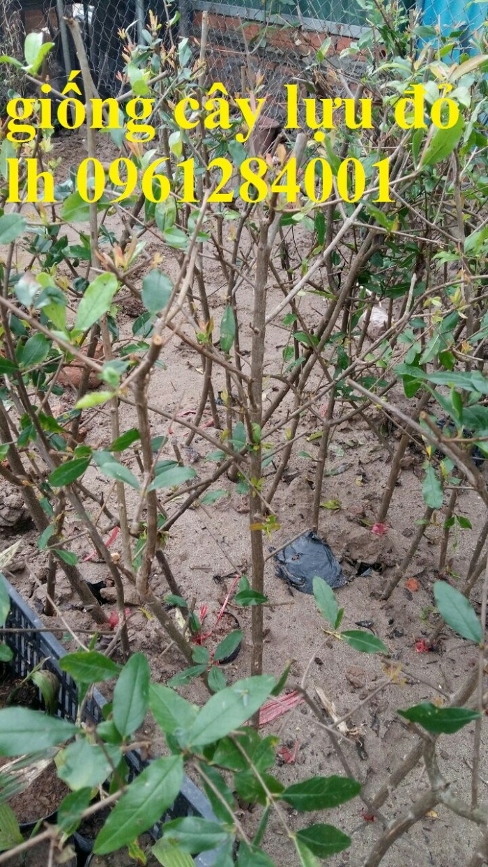 Cung cấp giống cây lựu lùn Ân Độ, lựu lùn đỏ F1, lựu lùn đỏ cao sảnh, cây giống nhập khẩu chất lượng cao21