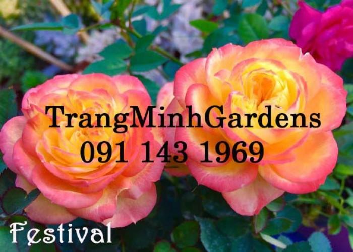 Hồng bụi mini siêu nụ Festival terrazza (terrazza màu cam vàng)0