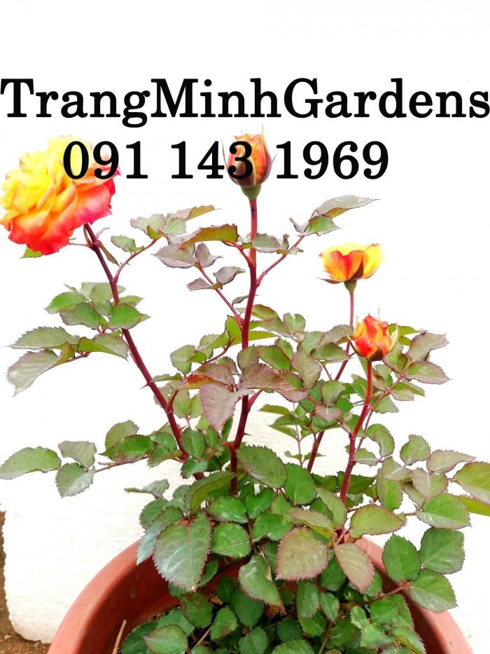 Hồng bụi mini siêu nụ Festival terrazza (terrazza màu cam vàng)1