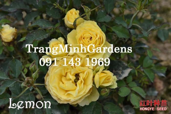 Hồng bụi mini siêu nụ Lemon terrazza (terrazza màu vàng)2