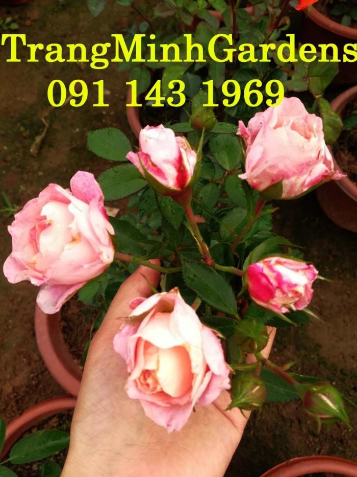 Hồng bụi mini siêu nụ nova king terrazza (terrazza màu hồng công chúa)0