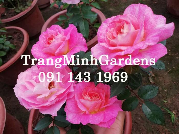 Hồng bụi mini siêu nụ nova king terrazza (terrazza màu hồng công chúa)1